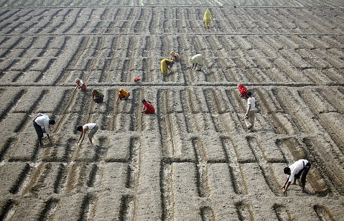 Farmers work in a cucumber field in New Delhi.