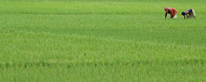 Farmers work in a paddy field in Agartala, Tripura.