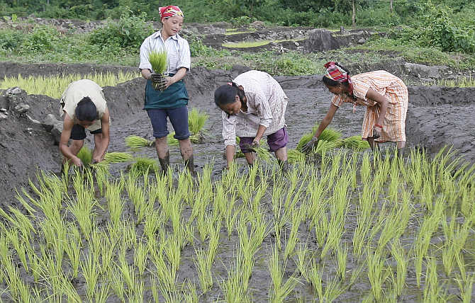 Farmers plant saplings at a paddy field in Rohini village near Darjeeling.