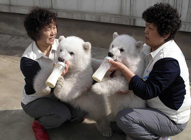 Zookeepers feed polar bear twin cubs at a photo opportunity at Laohutan Ocean Park in Dalian, Liaoning Province, China.