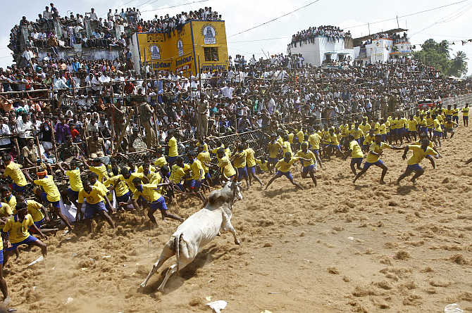 A bull runs among villagers during a bull-taming festival on the outskirts of Madurai.