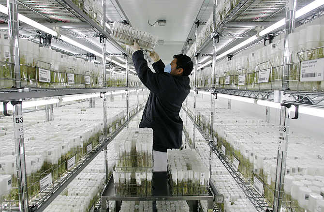 A worker of the International Potato Center arranges germinated potato seeds in vitro at a gene bank in Lima, Peru.