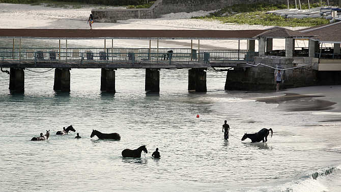 Horses from a local race course are given a morning bath along a public beach just outside Bridgetown, Barbados.