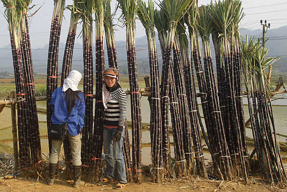 Farmers display sugarcane for sale by the roadside in Hoa Binh province, outside Hanoi, Vietnam.