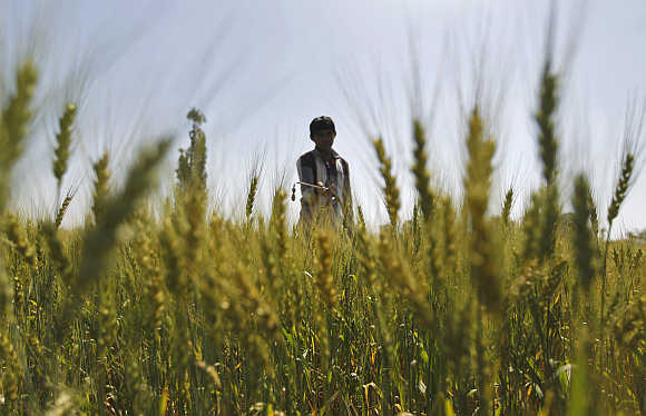 A man sprays fertiliser onto a wheat field on the outskirts of Ahmedabad.