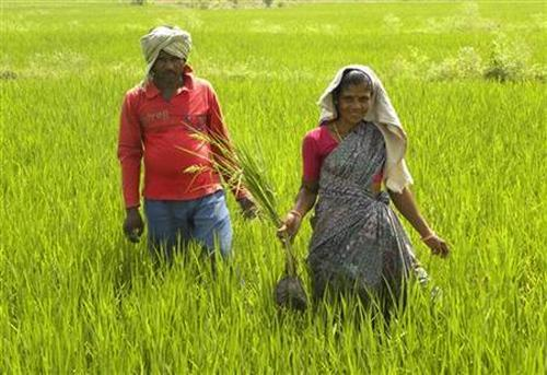Tribal villager, Kowasalya Thati (R), 35, tends to her rice paddy crop with her husband.