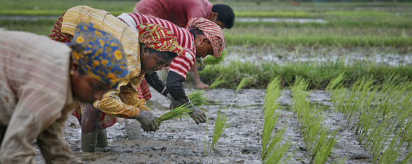 Farmers plant saplings at a paddy field on the outskirts of Agartala.