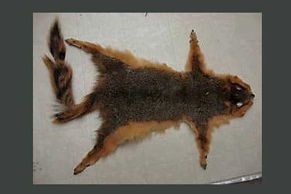 In medieval Russia, squirrel pelts were a common currency of exchange.