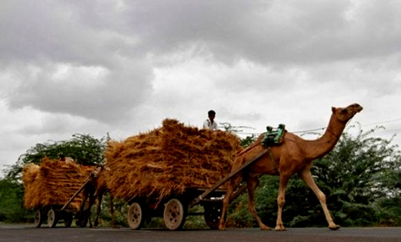 Farmers travel on camel carts loaded with hay at Shrinagar village.