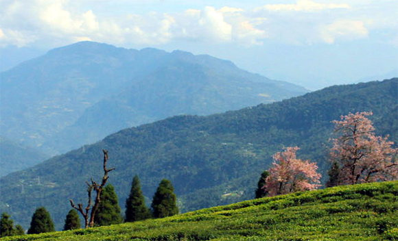 A tea garden in Sikkim.