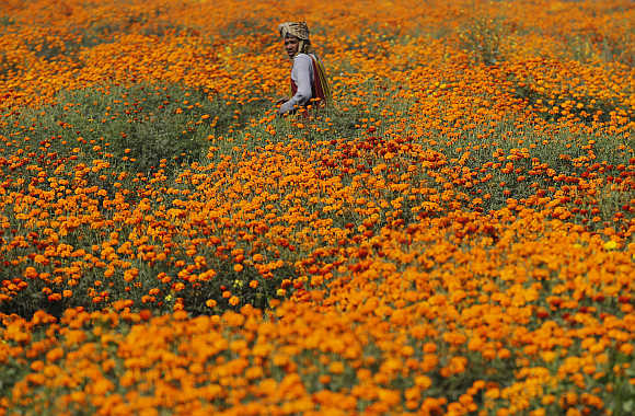 A farmer collects marigold flowers in a garden to be sold at a wholesale market in Noida.