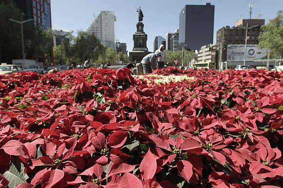 Workers plant flowers called poinsettias, also known as 'Flor de Noche Buena', in Reforma avenue in Mexico City.