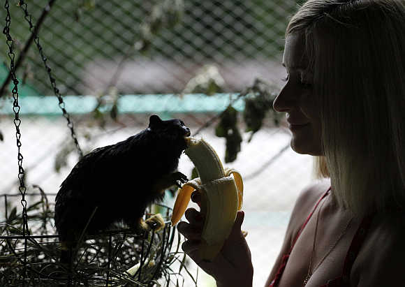 An employee feeds a red-handed tamarin monkey a banana in Krasnoyarsk, Siberia, Russia.