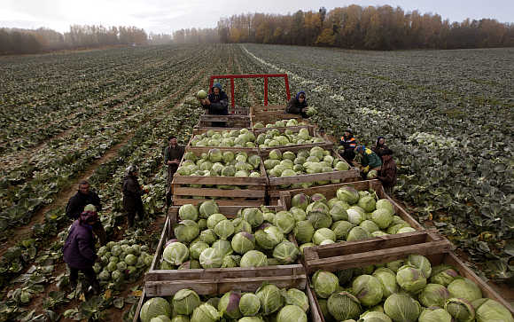 Workers gather cabbage near the village of Radashkovichi, some 40km northwest of Minsk, Belarus.