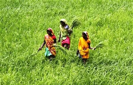 Labourers work in a paddy field at Thaska village in Punjab.