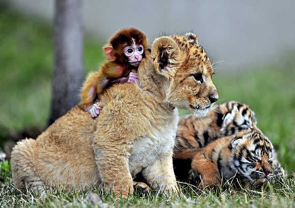 A baby monkey, a lion cub and tiger cubs play at the Guaipo Manchurian Tiger Park in Shenyang, Liaoning Province, China. Photo is for representation purpose only.
