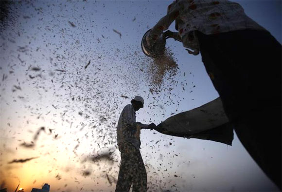 Labourers sift harvested wheat in a field on the outskirts of Ahmedabad