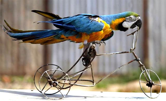 A circus macaw parrot rides a toy bicycle in Chandigarh.