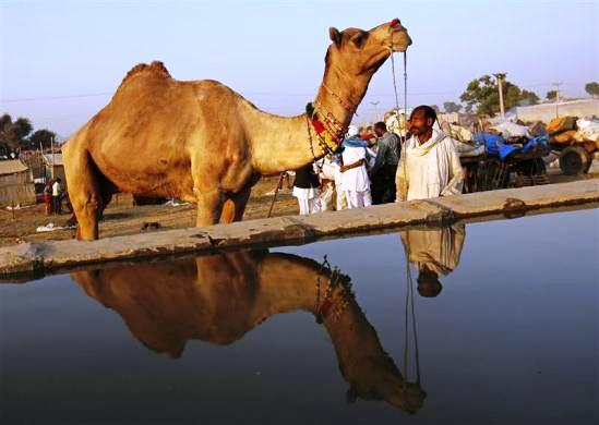 A camel herder is reflected in a pool of water as he stands among his camels at Pushkar Fair in Rajasthan.