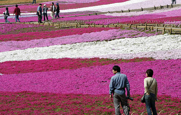 Visitors look at landscaped fields of Shibazakura flowers at Hitsujiyama Park in Chichibu, Saitama Prefecture, in Japan.