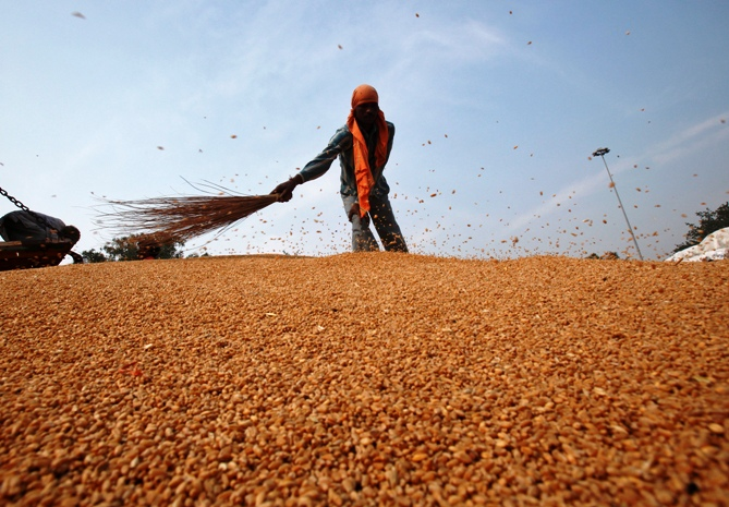 A labourer removes dust from wheat crops at a wholesale grain market in Chandigarh.