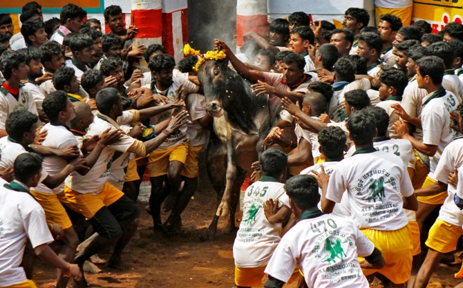 Villagers try to control a bull during a bull-taming festival on the outskirts of Madurai town, Chennai.