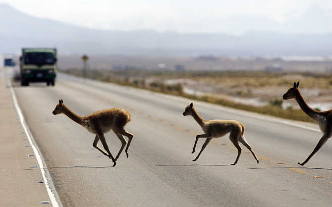A wild family of vicunas or vicugnas cross a road in the Bolivian highlands.
