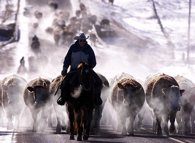 Cowboy Bill Collins leads over 300 head of cattle down a southern Alberta road northwest of Calgary in Canada.