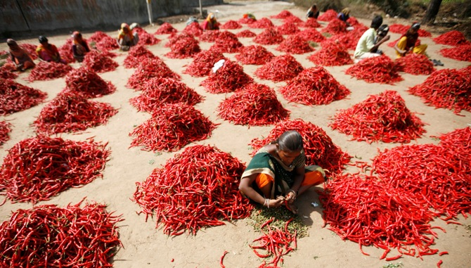 Workers remove stalks from red chilli at a farm in Shertha village on the outskirts of Ahmedabad.