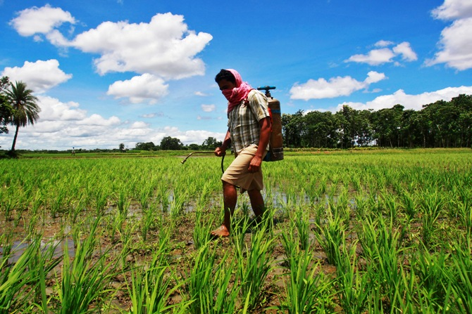 A farmer sprays pesticide containing monocrotophos on a paddy field at Mohanpur village, about 45 km (28 miles) west of Agartala