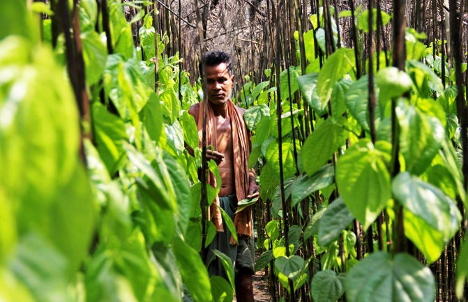 A farmer collects betel leaves near POSCO India's Odisha Project site at Gobindpur village in Jagatsinghpur district, Odisha.
