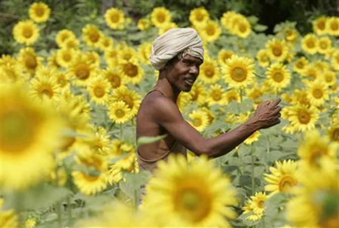 A farmer works on a sunflower field.