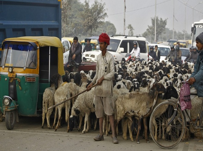 A shepherd with his herd of sheep waits for the signal at a busy road junction in Noida on the outskirts of New Delhi.