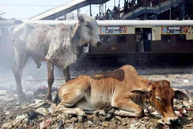 A local passenger train passes-by cows at a railway station in Mumbai.