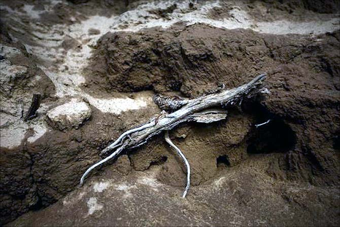 A plant root lies on the bed of the dried up Shiyang river on the outskirts of Minqin town, Gansu province.
