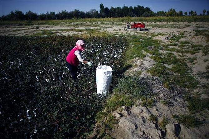 A woman harvests cotton near the dried up Shiyang river on the outskirts of Minqin town, Gansu province.