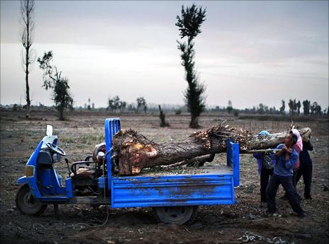 Farmers remove a dead tree from a field near the dried up Shiyang river on the outskirts of Minqin town, Gansu province.