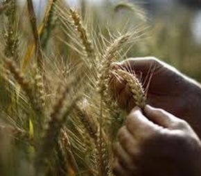 Wheat production in north India may decline due to climate change.