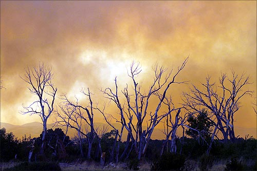 Smoke billowing out from the Wallow Wildfire surround trees in Eagar, Arizona.