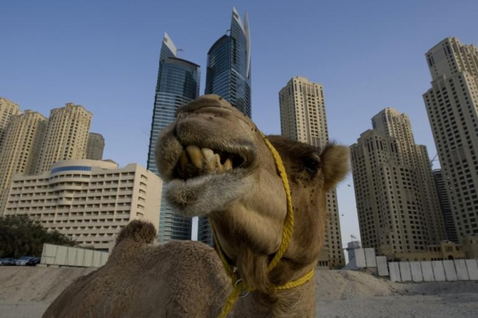 A camel stands in front of the Jumeirah Beach Residence in Duba
