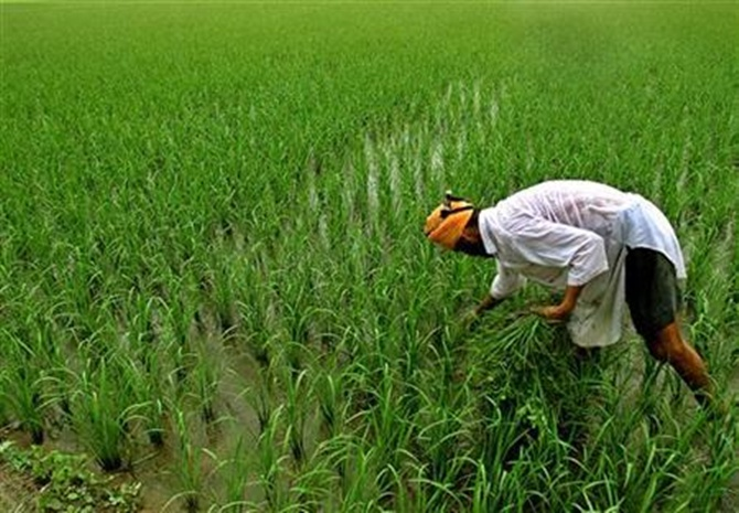A farmer inspects his paddy field in Taragarh village, near Amritsar.