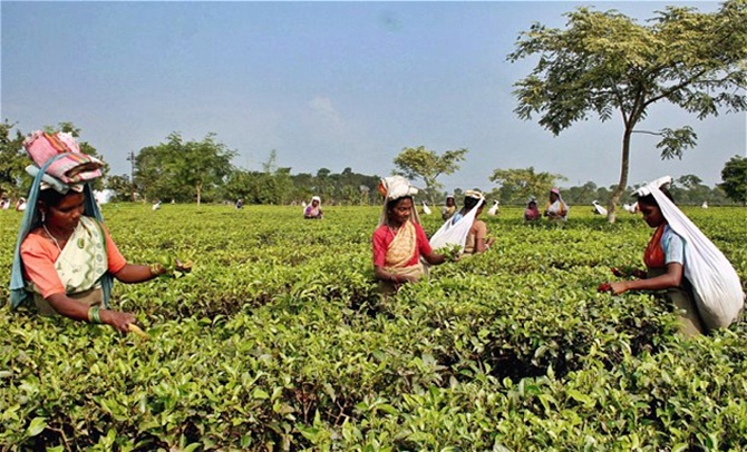 Workers pick tea leaves.
