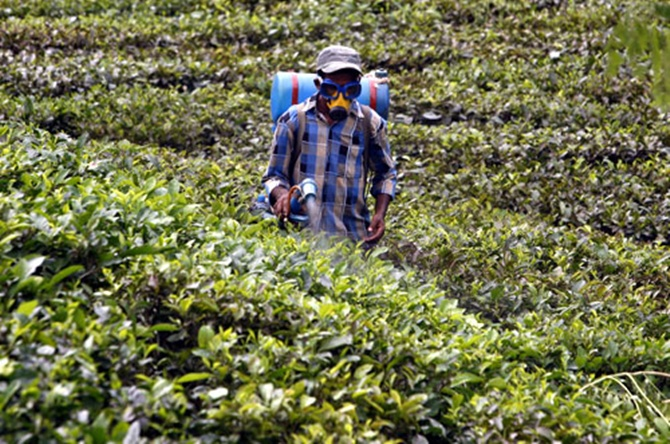 A tea garden worker sprays insecticide at the Durgabari tea garden estate on the outskirts of Agartala.