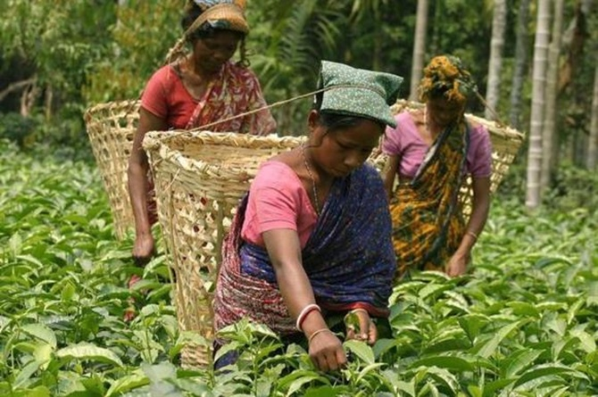 Tea garden workers pluck tea leaves at a tea garden estate in Poteya village, near Siliguri.