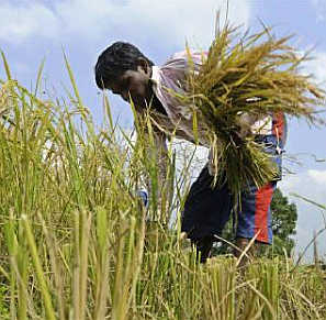 A farmer harvests paddy crop on the outskirts of Agartala.
