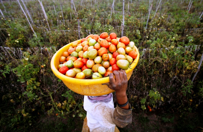 A labourer carries harvested tomatoes in a basket on her head.