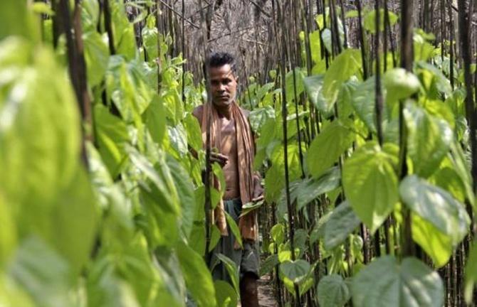 A farmer collects betel leaves near POSCO India's Odisha Project site at Gobindpur village in Jagatsinghpur district in Odisha.