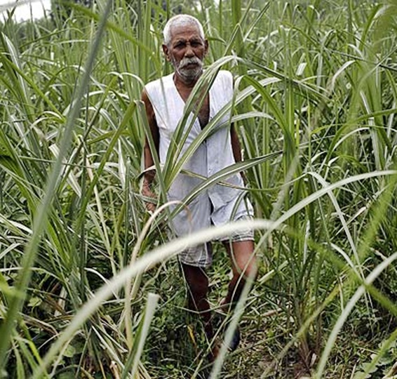 A farmer walks in his sugarcane field in Shamli in Uttar Pradesh.