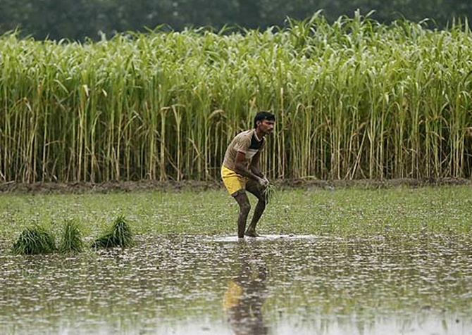A farmer plants rice saplings next to a sugarcane crop at a field in Shamli.