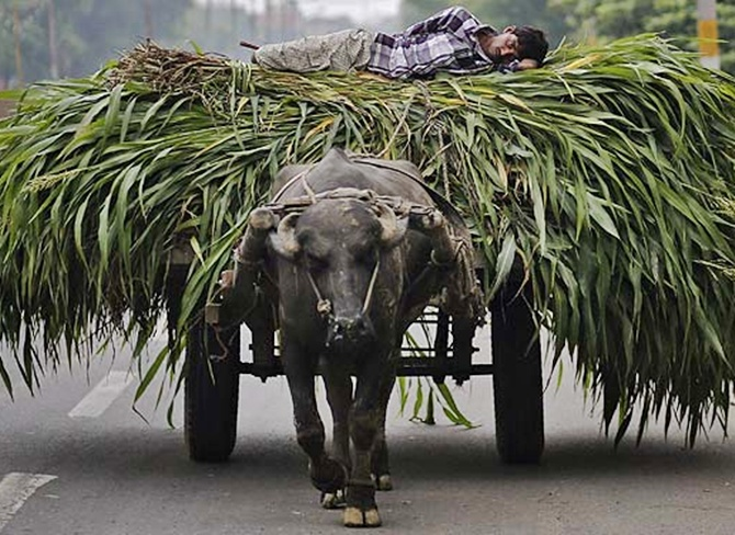 A man lies on a heap of fodder, which was removed from a sugarcane field, on a cart pulled by a bull in Muzaffarnagar.